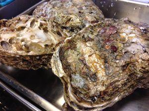 岩牡蠣1_R
