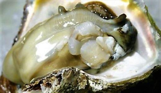 京都舞鶴 岩牡蠣