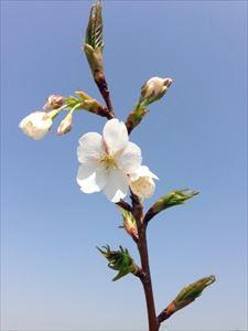 やっぱり桜がピッタリです!